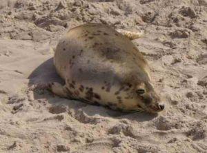 Łazy nad morzem foka na plaży